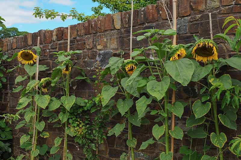 A close up horizontal image of sunflowers growing in front of a brick wall with the flowers starting to droop.