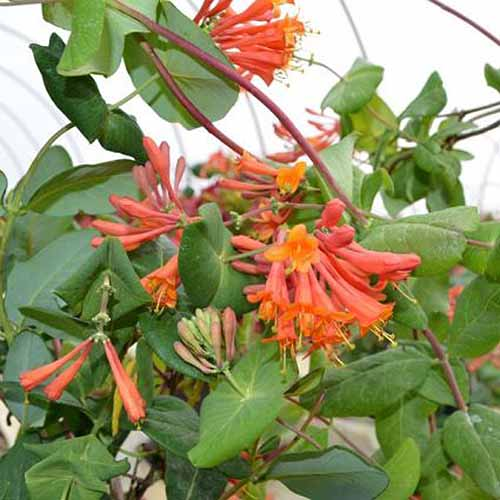 A close up square image of the bright orange flowers of 'Dropmore Scarlet' honeysuckle.