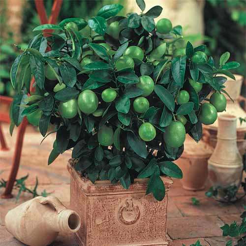 A close up square image of a dwarf key lime plant in a small terra cotta pot on a patio.