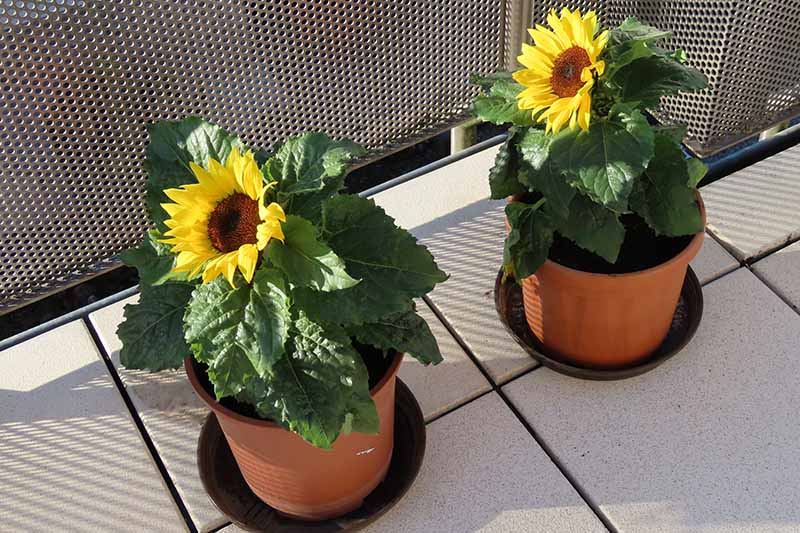 A close up horizontal image of small dwarf sunflowers growing in little terra cotta pots on a balcony.