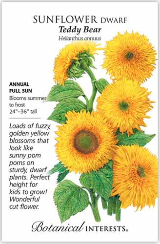 A close up vertical image of a seed packet for Helianthus annuus 'Teddy Bear,' with text to the left of the frame and a hand drawn illustration to the right.
