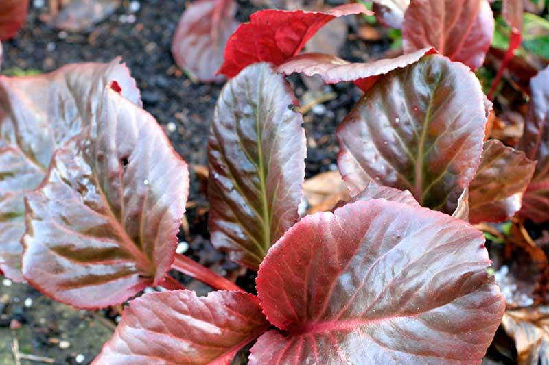 A close up horizontal image of the deep red foliage of 'Eric Smith,' a bergenia cultivar pictured in light sunshine growing in a garden border.