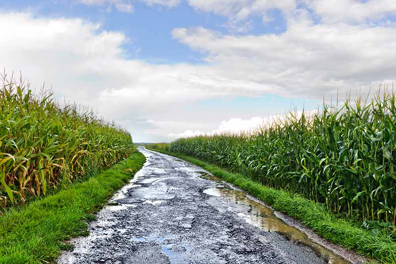 A horizontal image of a country road in England filled with potholes as is usual, flanked with fields of corn.