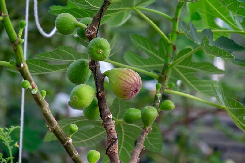 A close up horizontal image of figs ripening on the tree pictured on a soft focus background.