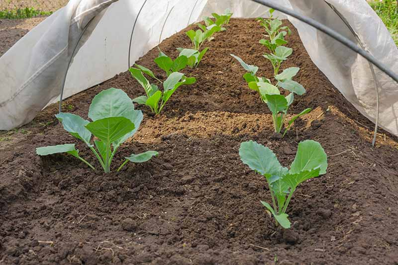 A close up horizontal image of a vegetable garden with a white floating row cover to prevent infestation from pests.