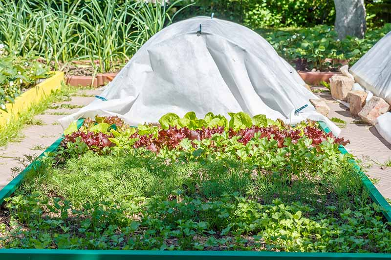 A horizontal image of a raised garden bed growing vegetables with half of it covered with a floating row cover.