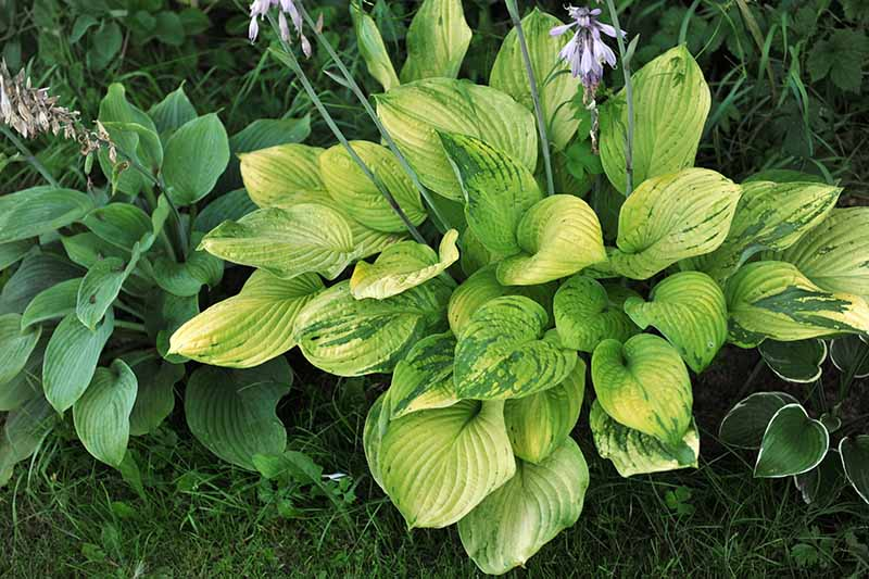 A close up horizontal image of a hosta plant infected with a virus that makes the foliage discolored.