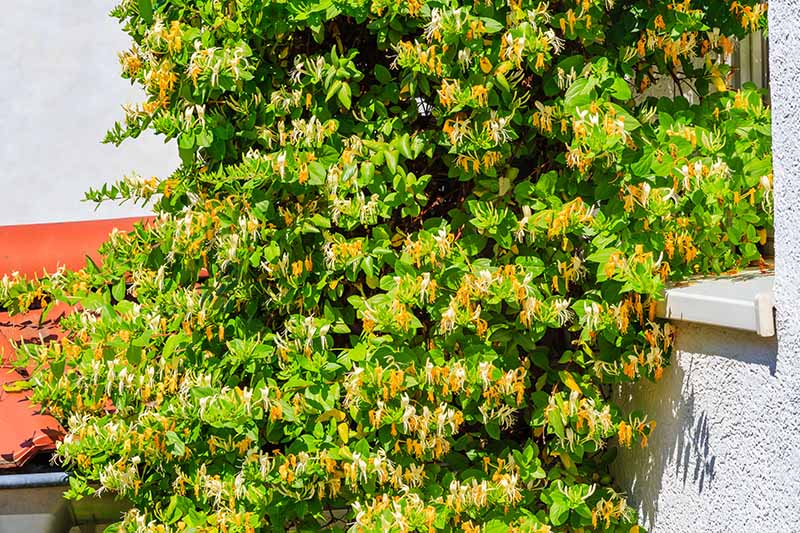 A close up horizontal image of Japanese honeysuckle (Lonicera japonica) vine growing on the outside of a residence.