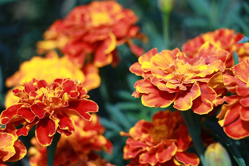 A close up horizontal image of red and yellow French marigolds growing in the garden.