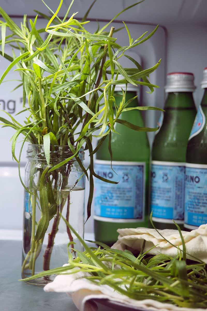 A close up vertical image of freshly harvested tarragon stored in a jar of water in the fridge.