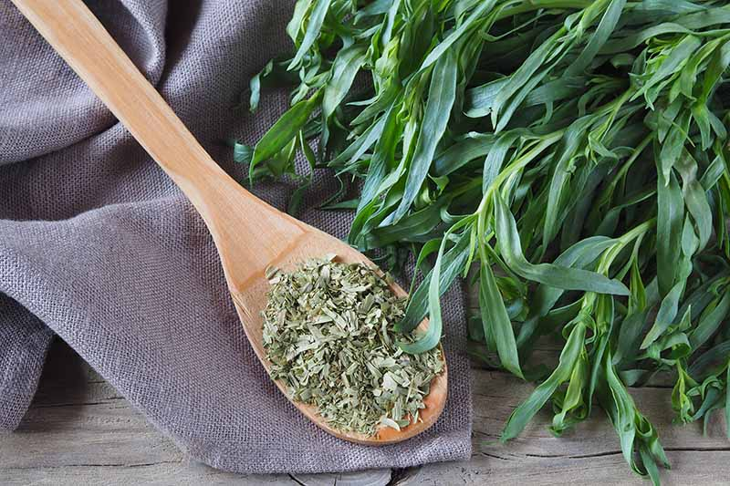 A close up horizontal image of a wooden spoon with dried tarragon and fresh herbs to the right of the frame.
