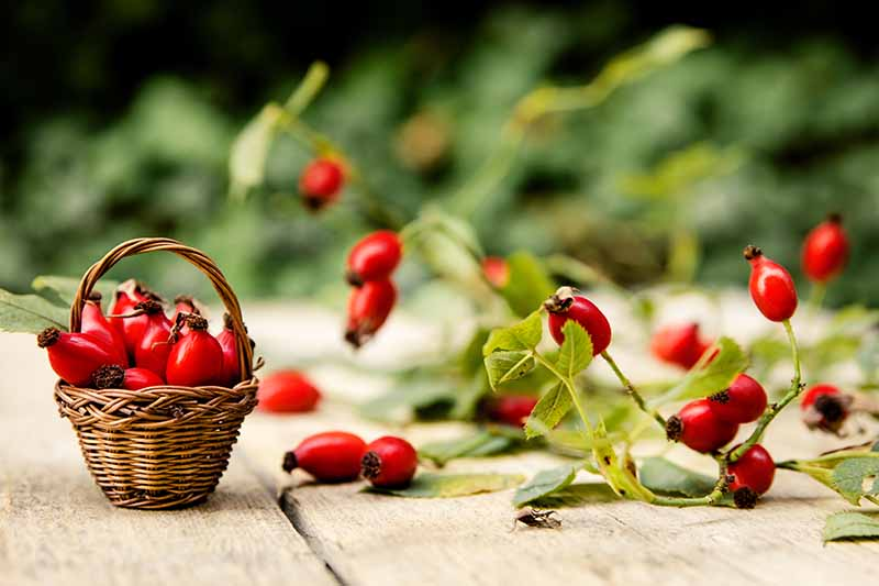 A close up horizontal image of a small wicker basket filled with freshly harvested rose hips set on a wooden surface pictured on a soft focus background.