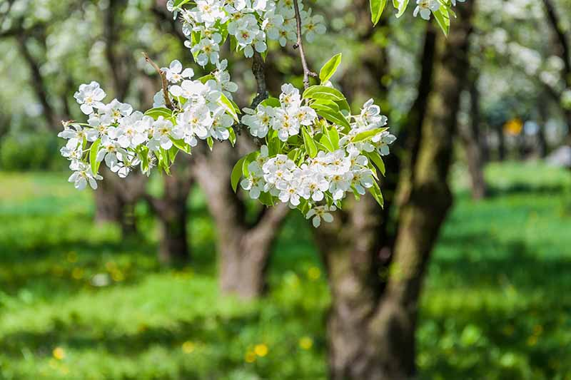 A close up horizontal image of fruit tree blossoms in a well-planned orchard pictured on a soft focus background.