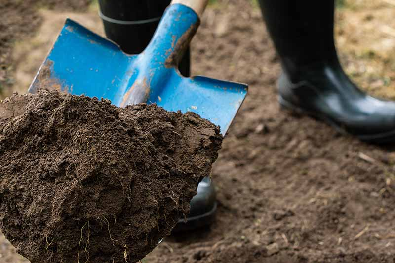 A close up horizontal image of a blue metal shovel digging a hole in the garden.