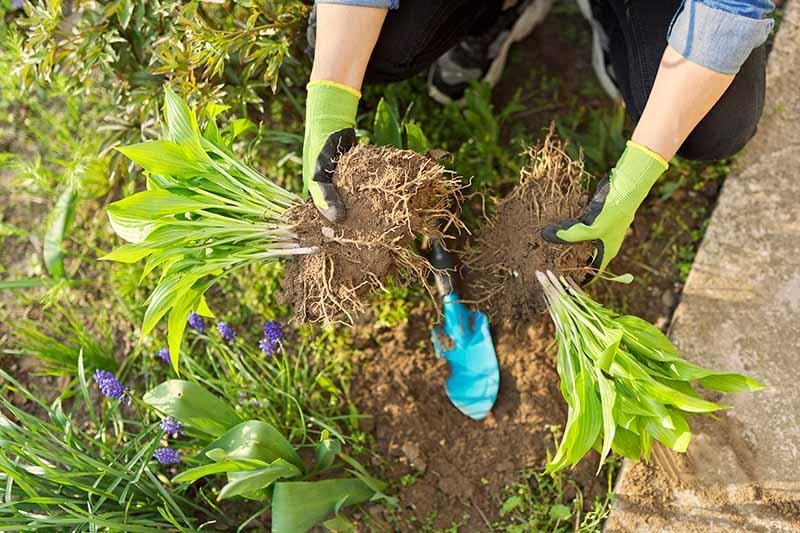 A close up horizontal image of a gardener dividing a perennial hosta plant.