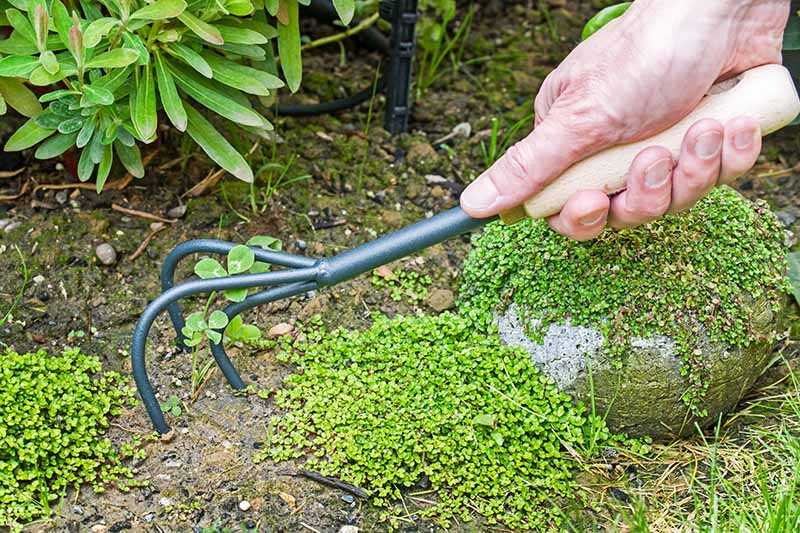 A close up horizontal image of a hand from the right of the frame holding a hand cultivator to remove weeds from the garden.