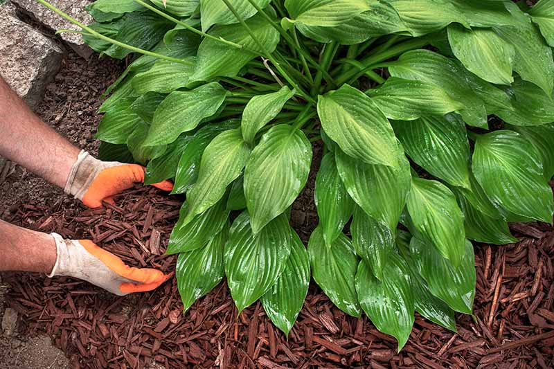 A close up horizontal image of two hands from the left of the frame applying mulch to the base of a hosta plant.