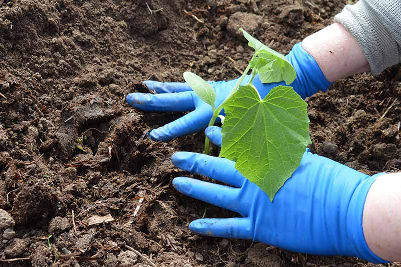A close up horizontal image of two hands from the right of the frame wearing blue plastic gloves planting out a seedling into the garden.