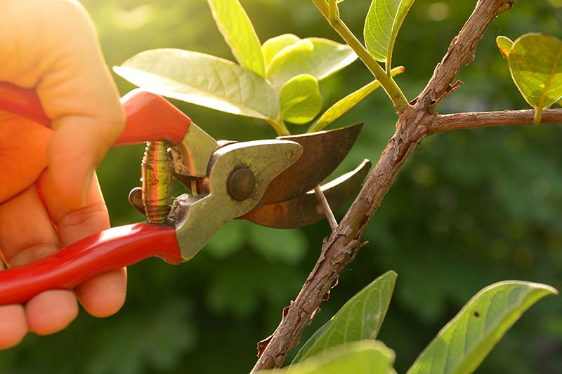 A close up horizontal image of a hand from the left of the frame holding a pair of pruners to snip a branch from a woody shrub.