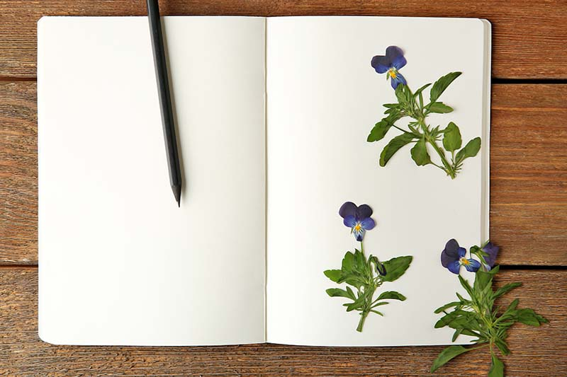 A close up horizontal image of an open journal with blank pages, to the right of the frame are small dried Viola tricolor flowers.
