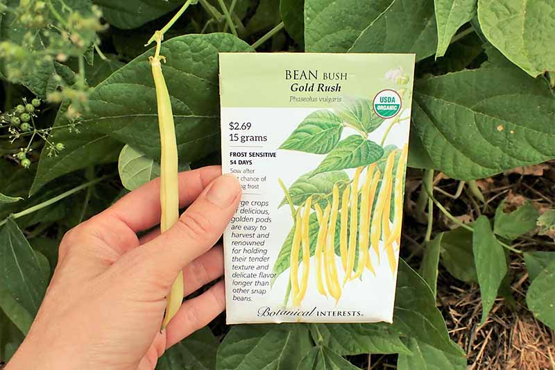 A close up horizontal image of a hand from the left of the frame holding out a seed packet in front of a bean plant.