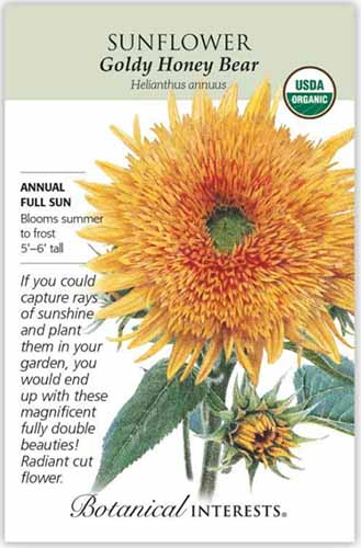 A close up vertical image of a seed packet for Helianthus annuus 'Goldy Honey Bear,' with text to the left of the frame and a hand drawn illustration to the right.