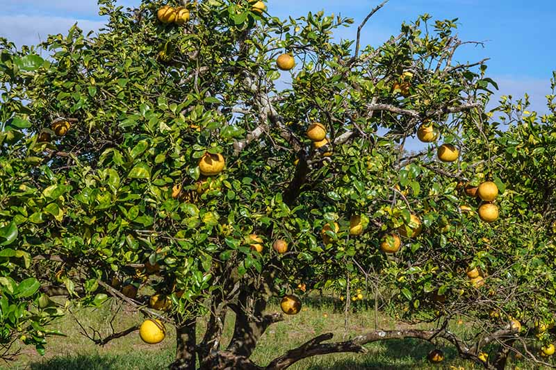 A close up horizontal image of a grapefruit tree laden with ripe fruits growing in a sunny orchard.