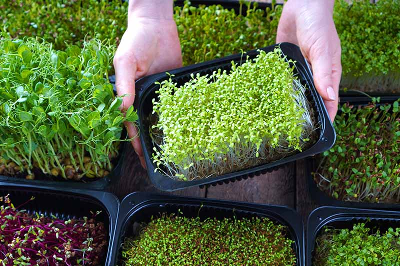 A close up horizontal image of two hands from the top of the frame holding up a black plastic tray growing a variety of different microgreens.