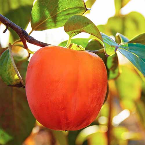 A close up square image of a ripe 'Hachiya' persimmon growing in the garden pictured in light sunshine.