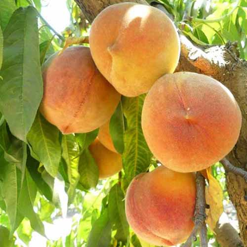 A close up square image of 'Hale Haven' peaches growing in the garden.
