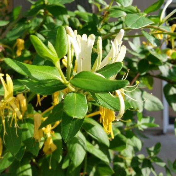 A close up square image of Japanese honeysuckle growing in the garden with a residence in soft focus in the background.