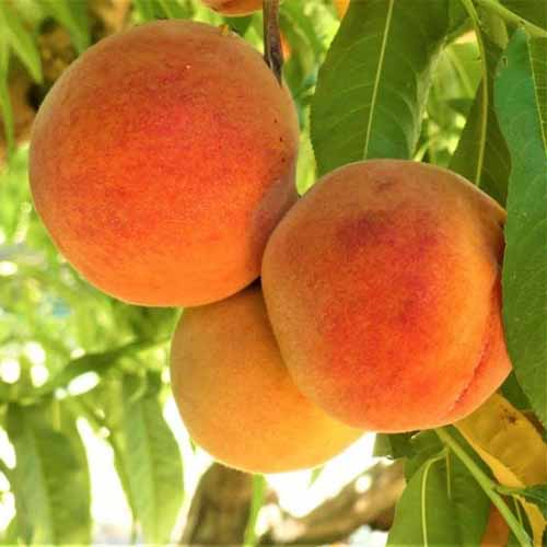 A close up square image of 'Harken' peaches growing on the tree ready for harvest.