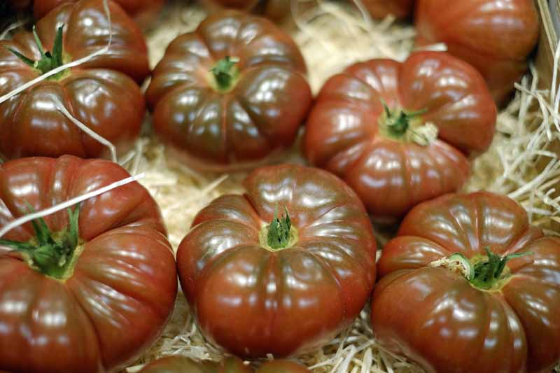 A close up horizontal image of freshly harvested 'Cherokee Purple' tomatoes set in a wooden box.