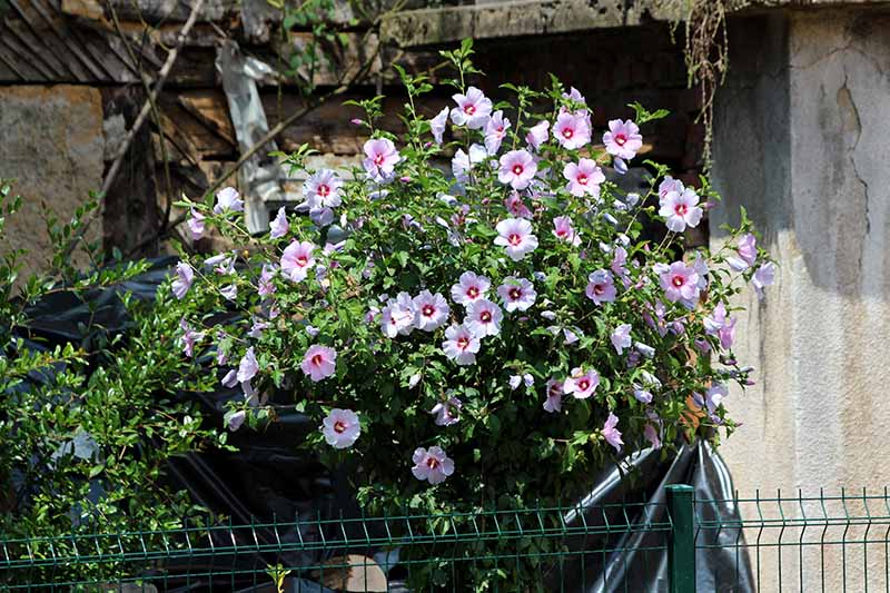 A close up horizontal image of a rose of Sharon shrub growing outside a stone residence, pictured in light sunshine.