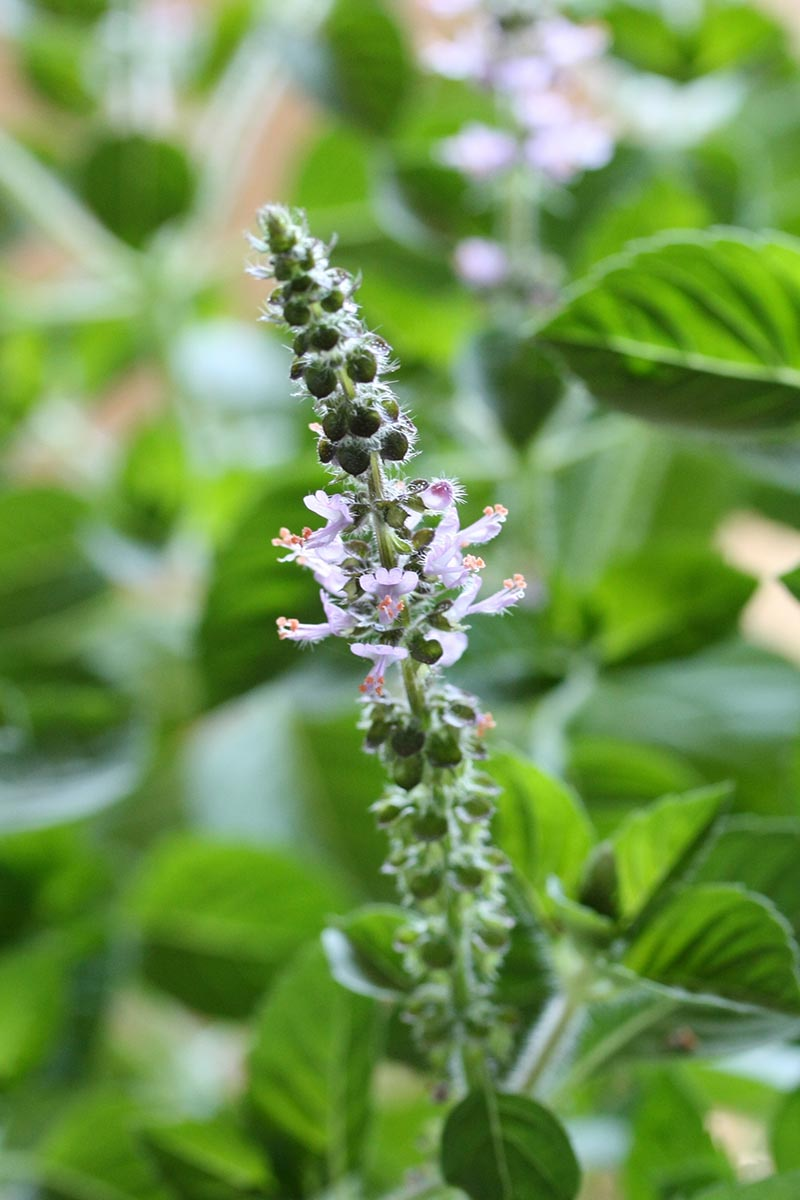 A close up vertical image of a holy basil plant that has bolted and produced a flower stalk, pictured on a soft focus background.