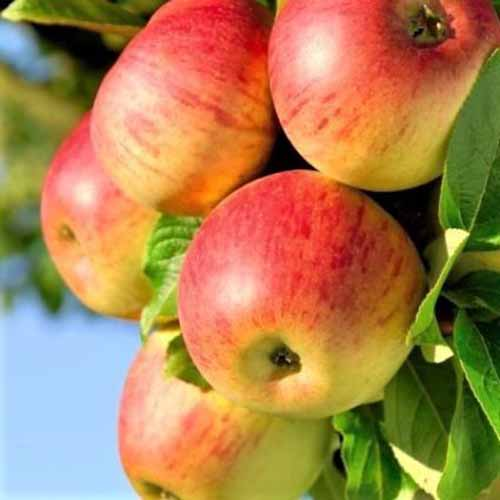 A close up square image of a bunch of 'Honeycrisp' apples growing on the tree pictured on a blue sky background.