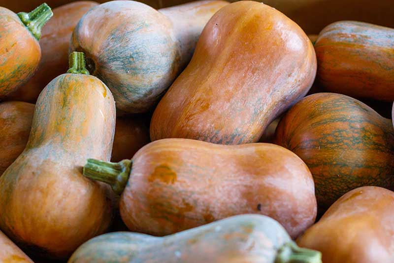 A close up horizontal image of a pile of 'Honey Nut' squash harvested from the vine.