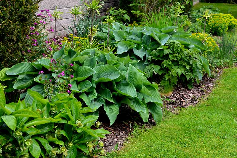 A close up horizontal image of a garden border planted with perennial shrubs and hostas next to a lawn.