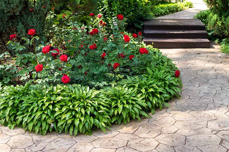 A close up horizontal image of a garden border planted by the side of a formal path with bright red roses flanked with hostas.