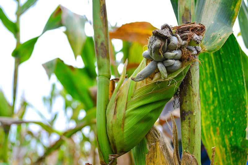 A close up horizontal image of an ear of corn growing in the garden that has been infected by a black smut fungus pictured on a soft focus background.