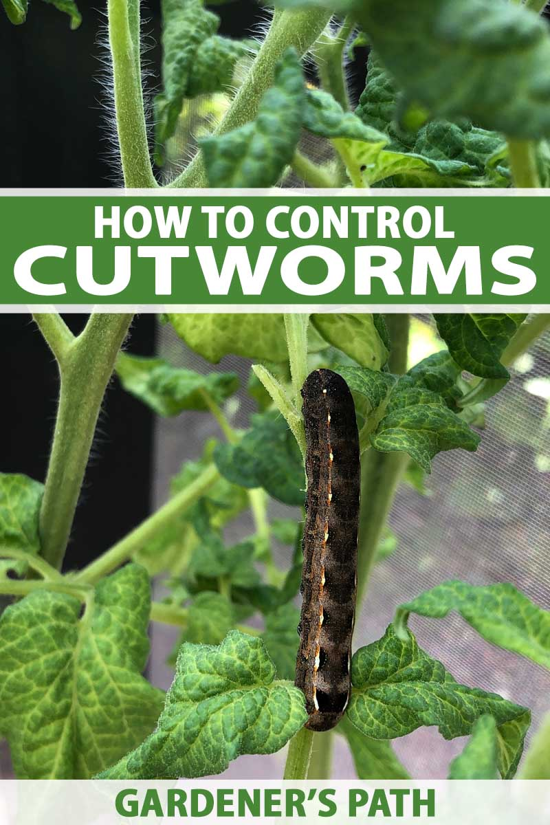 A close up vertical image of a cutworm infesting a tomato plant pictured on a soft focus background. To the center and bottom of the frame is green and white printed text.