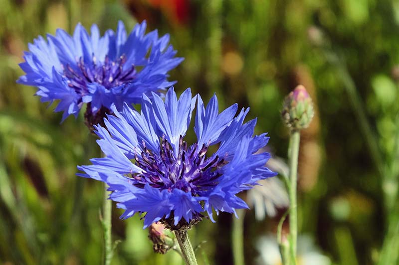 A close up horizontal image of two bright blue bachelor's button flowers growing in the garden pictured on a soft focus background.