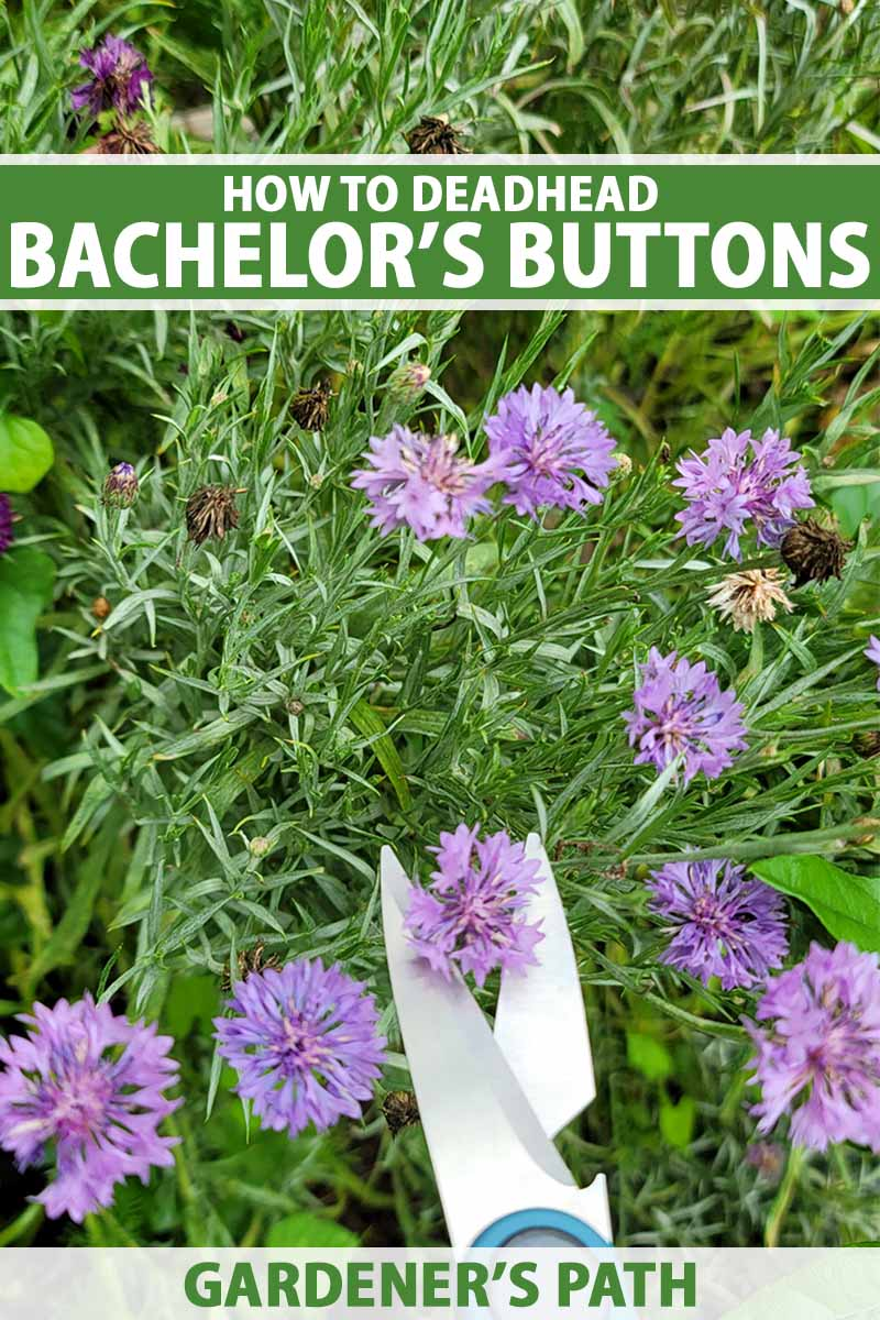 A close up vertical image of a pair of scissors from the bottom of the frame snipping off a spent bachelor's button flower. To the top and bottom of the frame is green and white printed text.