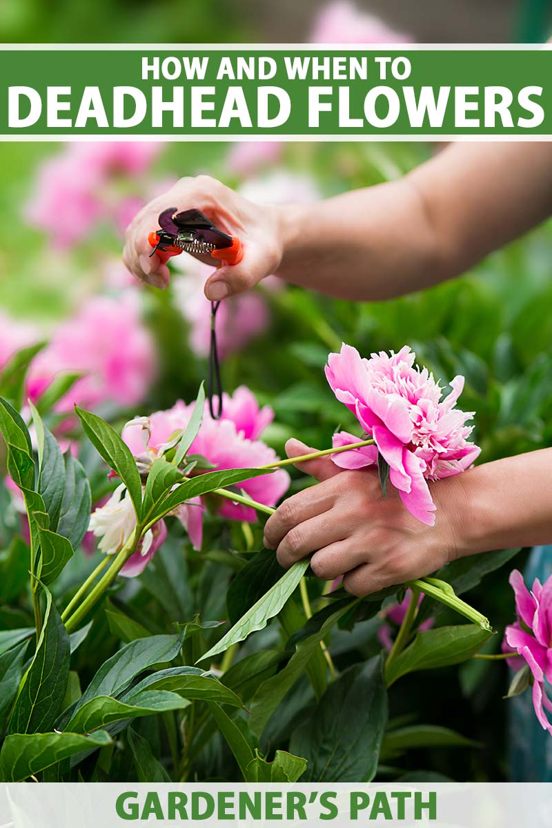 A close up vertical image of two hands from the right of the frame using pruners to deadhead a pink flower. To the top and bottom of the frame is green and white printed text.