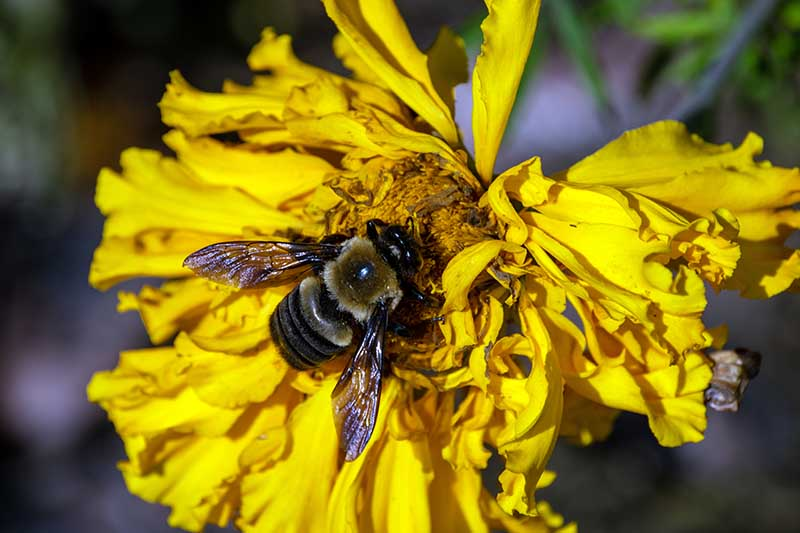 A close up horizontal image of a spent yellow marigold flower with a bee feeding in the center pictured in light sunshine on a soft focus background.