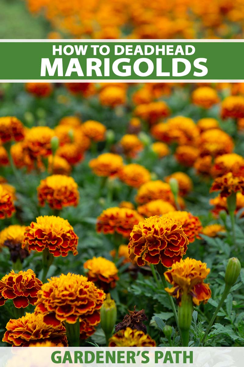 A close up vertical image of a field of French marigolds growing en masse in the garden. To the top and bottom of the frame is green and white printed text.