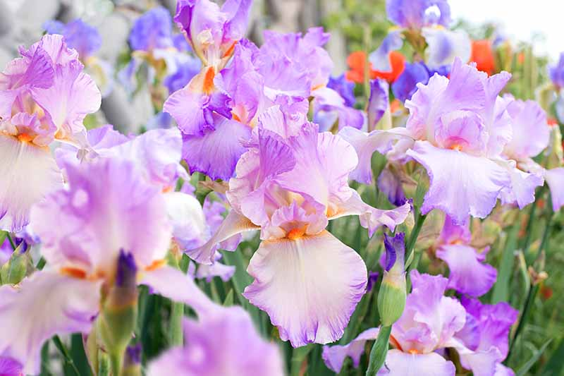 A close up horizontal image of light purple iris flowers growing in the garden.