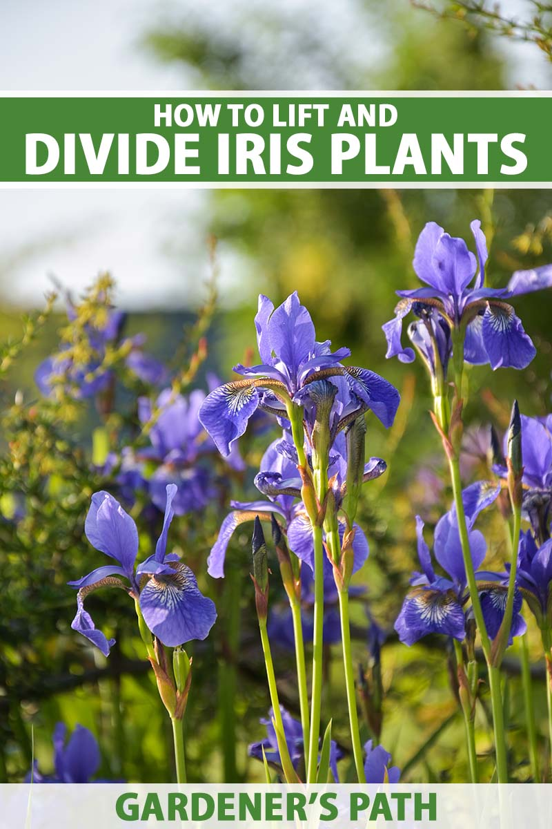 A close up vertical image of purple iris flowers growing in the garden pictured in light evening sunshine. To the top and bottom of the frame is green and white printed text.