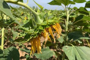 Cheer Up! Solutions for Sunflowers That Droop