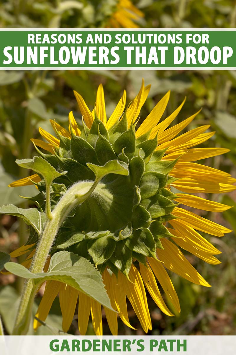 A close up vertical image of the back of a Helianthus annus flower that has started to droop. To the top and bottom of the frame is green and white printed text.